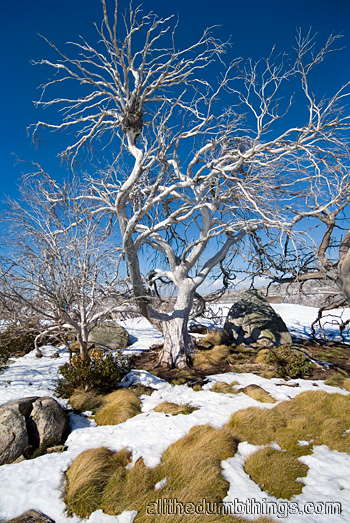 Sometimes even the Snow Gums can not handle the conditions