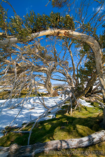 It's hard being a tree at Perisher