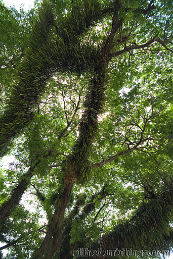 Epiphytes cover a tree in Cairns